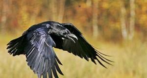 Aggredita da un corvo in strada, giornalista finisce in ospedale