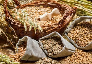 Dal seme alla pasta fresca: a Milano la filiera dei grani antichi
