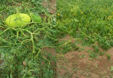 Maltempo, tempeste su Monza e Milanese Devastati ettari di cereali, ortaggi e riso