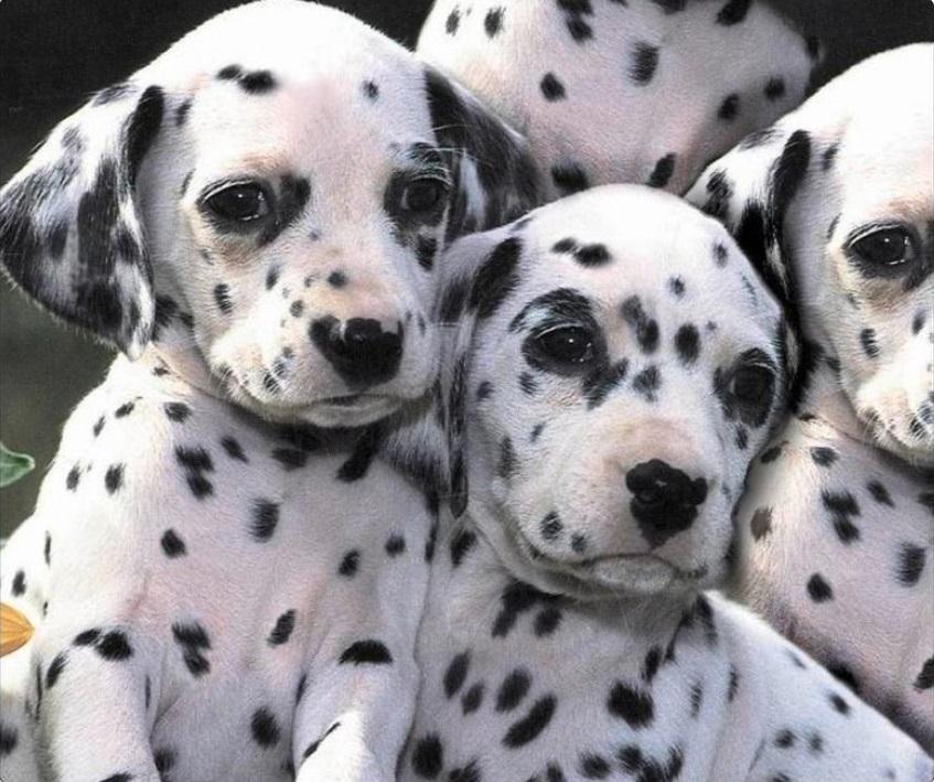 Razze Di Cani Che Passano Di Moda Erischiano Lestinzione